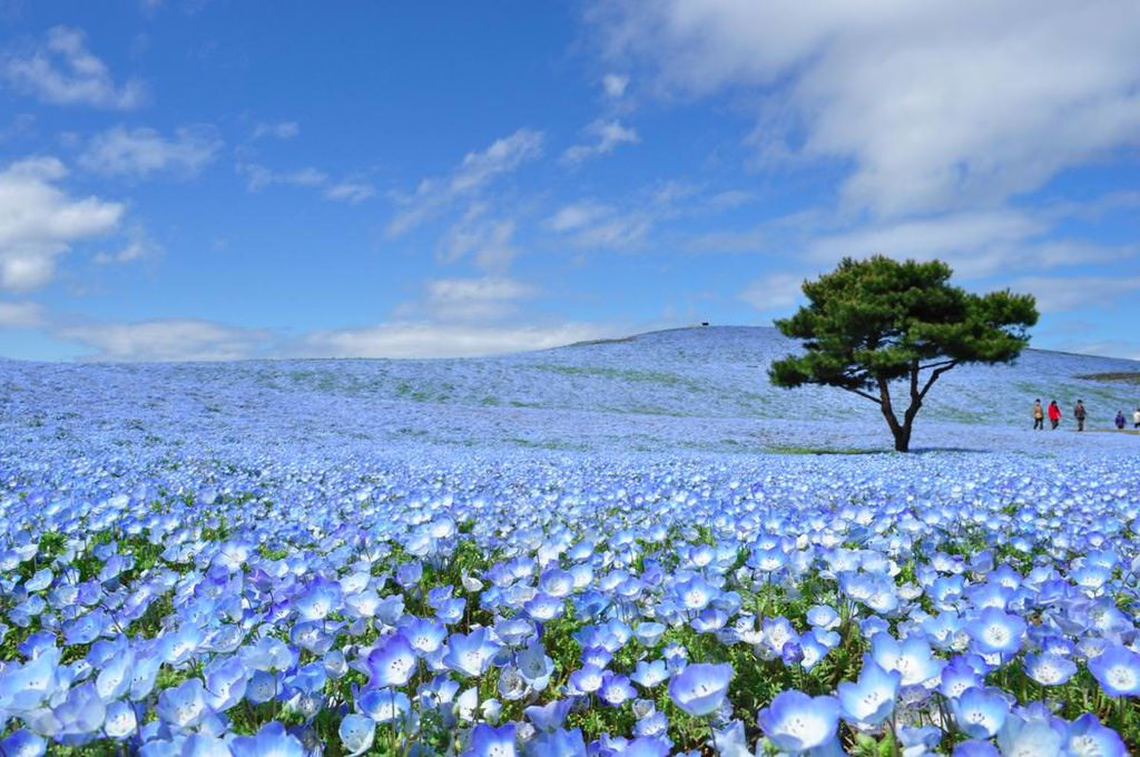 【Hitachinaka】mid Apr. to mid May Hitachi Seaside Park (Baby Blue Eyes)