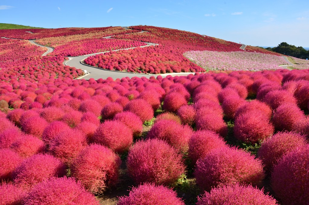 【Hitachinaka】early to mid Oct. Hitachi Seaside Park 2